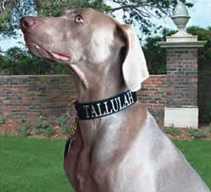 One of the most prestigious looks your dog can have is a Mrs. Bones Black Velvet Collar and Leash set. Especially with their Name Embroidered in Gold! When your dog enters the room everyone will know who he or she is. Embroidered Name option is especially great for dogs that do Therapy  or Community Work.