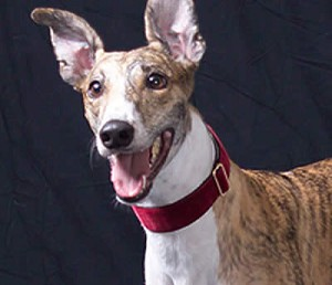 "One of the most prestigious looks your dog can have is a Mrs. Bones Garnet Velvet Collar and Leash set. Especially with their Name Embroidered in Gold! When your dog enters the room everyone will know who he or she is. Embroidered Name option is especially great for dogs that do Therapy  or Community Work. Gorgeous Greyhound in Garnet Velvet 1.5inch Martingale Collar, nothing looks and feel as luxurious on your hands as a Mrs. Bones' Double Sided Swiss Velvet matching leash. These sets are gorgeous, washable and durable.Available in 5/8-inch, 3/4-inch, 1-inch or 1 1/2-inch widths or 2"" widths."