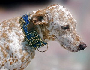 The Lavish Kells Hounds Collar is a Celtic design that appears in the Book of Kells, a beautiful manuscript written by monks in the early Middle Ages, containing the four gospels. The intertwined hound design is believed to represent honor and possibly re-incarnation in Royal Blue and Gold.